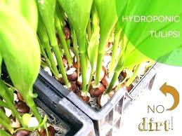 plant home depot daffodil bulbs home depot how to plant bulbs in water hydroponic tulips plant home depot