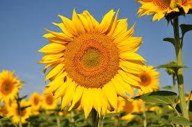 Bilderesultat for solsikke