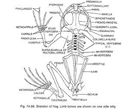 essay on frogs skeleton of frog