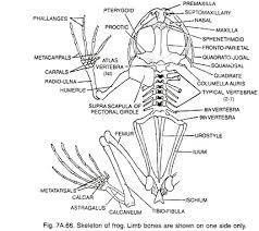 essay on frogs skeleton of frog