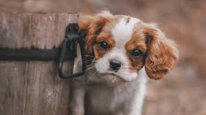 cute puppy 1366x768 resolution
