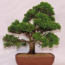 office bonsai. 20x Organic Juniper Bonsai Tree Seeds Purify Air Home Office Decor Easy To Grow# | EBay