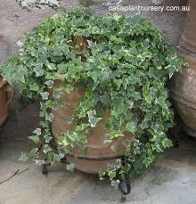 variegated ivy brisbane office plants