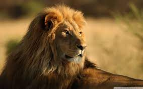 Wild Lion Wallpapers - Wallpaper Cave