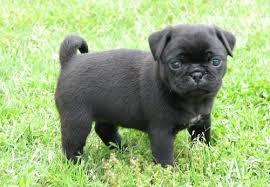 black pugs for sale.  For Pure Black Pug Puppies Fpr Sale Inside Pugs For Sale G
