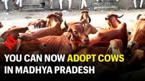 मध्यप्रदेश सरकार ने गायों को गोद लेने की पेशकश की है