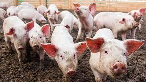 Hasil gambar untuk babi