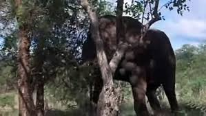 <b>Animals</b> in Africa get <b>drunk</b> by eating ripe Marula fruit - YouTube ...