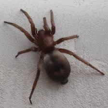 Brown Recluse Bugguide Net