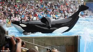 tilikum offspring chart.  Tilikum Performing Orca At A Marine Park Inside Tilikum Offspring Chart E
