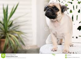cute baby white pugs. Delighful Pugs Download Baby Pug Stock Image Image Of Animal Baby Canine Breed  Intended Cute White Pugs U