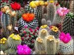 К чему цветет кактус в домашних условиях