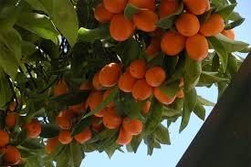 نتیجه تصویری برای عکس پرتقال کامکوات