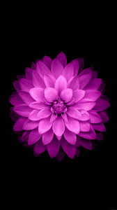 pink and purple and black backgrounds.  Backgrounds Purple Lotus Black Background For Pink And Backgrounds