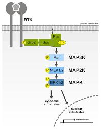 ijms  free fulltext  mitogenactivated protein (map) kinase