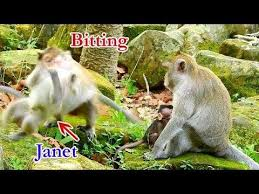 Bad Day for Janet | Janet was terrified by April So hard | April bit Janet  so strong - YouTube in 2020 | Baby weaning, Baby monkey, Weaning