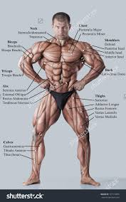 These include mobility, stability, posture, circulation, digestion, and more. Muscle Chart Male Koibana Info Body Muscle Anatomy Muscle Anatomy Man Anatomy
