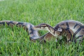 Ball Python Size Chart How Big Do Ball Pythons Get And How Long Does It Take For