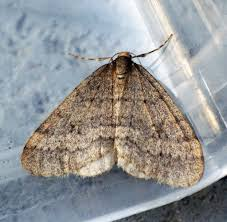 why do moths swarm at night in cold weather