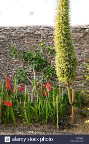 Walled Kitchen Garden Tall Echium Flower Beside Gladioli In The Walled Kitchen Garden