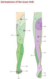 Dermatomes Of Lower Limb Great Toe L4 Spine Health