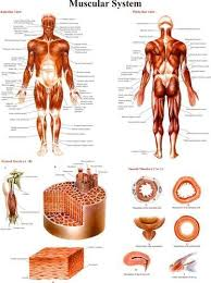 Anatomy Chart Muscular System Muscular System Anatomy Charts