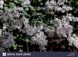 Lilacs In Landscape Design Blossoming Common Syringa Vulgaris Lilacs Bush White