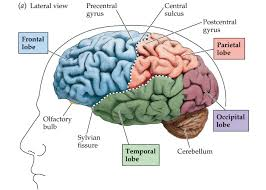 introduction to the basic parts of the human brain