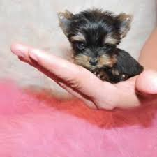 teacup puppy yorkie. Interesting Puppy In An Effort To Eliminate Any Misrepresentation On All Of The For Sale  Pages We Provide Our Customers With Estimated Adult Weight Pup They  With Teacup Puppy Yorkie