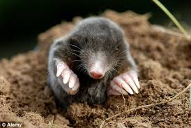 garden moles. Diggers: A Huge Rise In Moles Is Threatening To Destroy Thousands Of Lawns As They Garden