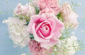 pink petaled rose flowers pink rose