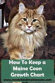 Maine Coon Growth Chart How To Keep A Maine Coon Growth Chart Animal Maine Coon