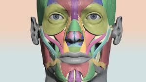 Colourcoded Head Muscle Chart 3d Model By Anatomy Next
