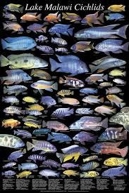 Books Posters Daytona Aquarium Cichlid Express