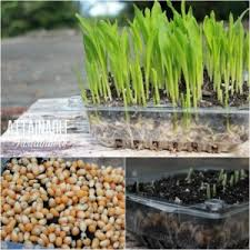 Growing Popcorn Growing Popcorn Sprouts Archives Homestead Survival
