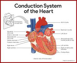 Anatomy Of The Heart Chart Cardiovascular System Anatomy And Physiology Study Guide