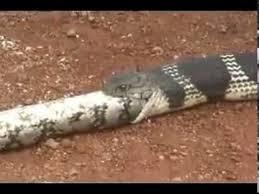 king cobra snake eating. Modren Snake King Cobra Eating A Python On Snake K