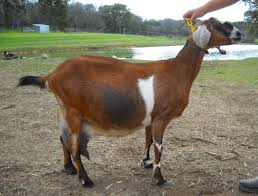 Nubian Milk Goats Rebecca Creek Farms