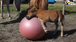 baby horses playing. Wonderful Baby Baby Horse Rolls Ball Into Older Horses  The Dodo On Playing U