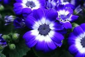 names of blue flowers names of blue flowers names of blue flowers in india