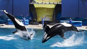 original shamu. Delighful Shamu Orcas Leaping In Front Of Performers At SeaWorld San Diego 2014 Throughout Original Shamu E