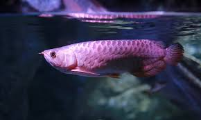 Arowana Fish Swiming In Water At Aquarium Photo Premium