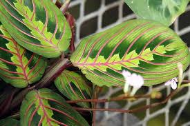 Conheça as plantas que conquistaram os millennials (foto: Origem Caracteristicas E Cuidado Da Maranta Tricolor Jardinagem Em