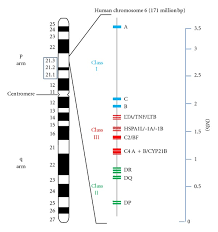 6 Lupus Hla On Download Susceptibility Diagram And Gene Scientific Genes Human Cluster Chromosome