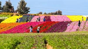 love carlsbad flower fields visiting the