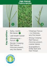 Grass Identification Chart Uk Syngenta Grass Id Guide Greencast