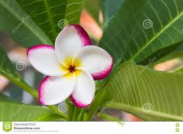 beautiful sweet white pink yellow flower plumeria in home garden with happy morning mood and fresh beautiful fresh home