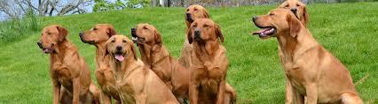 mordor gun dogs international training breeding