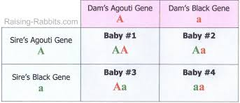 Eye Genetics Chart Rabbit Genetics Easy To Understand Basics Of Genetic