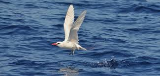 Small Picture Red billed Tropicbird Galapagos Cruises and Ecuador Travel Go